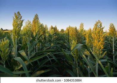 Sorghum field. Other names include durra, Egyptian millet, feterita, Guinea corn, jowar, juwar, milo shallu and solam