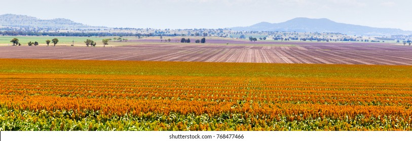 sorghum fields near Quirindi New South Wales