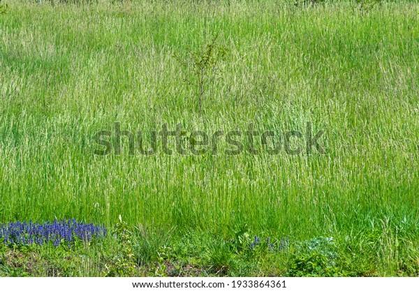 sorghum-halepense-grass-which-grows-600w
