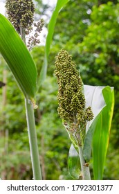Sorghum Plant is Grow up in the Natural Garden.