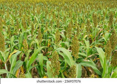 Milo Grain Images, Stock Photos & Vectors | Shutterstock