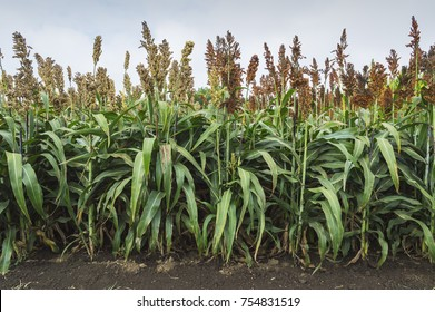 Sorghum plants in field. Agricultural concept.
