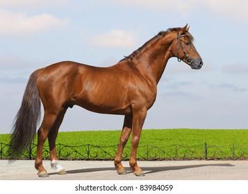 Sorrel Don stallion - excellent conformation