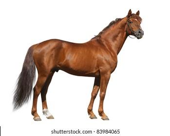 Sorrel Don stallion looking at camera