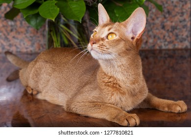 a sorrel female abyssinian cat on a brown table, with bunch of flowers