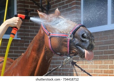 Sorrel horse is washed of water with hose on a hot summer day