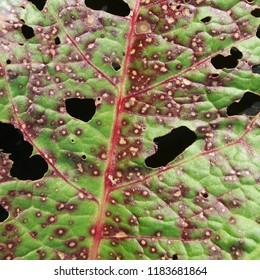 Sorrel leaf damaged by Ramularia rubella. Symptoms of leaf disease in form of red spots