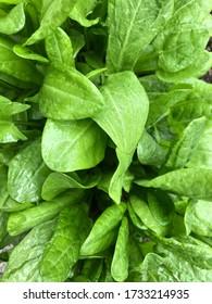Sorrel veggie Green leaves raindrops greenery in the garden background