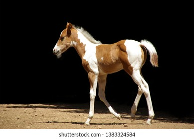 Sorrel and white Paint colt walking on dirt with black background