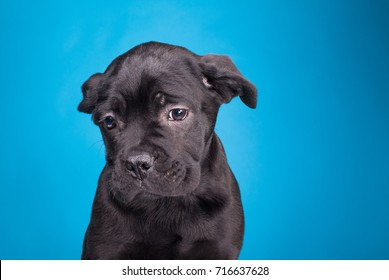 sorry dog, black cane corso on a blue background, sad little wrinkled thoughtful friend, purebred puppy in the studio isolated on a blue background, very sad black dog.