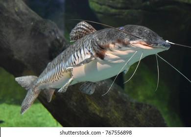 A Sorubim Fish