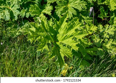 Sosnowsky's hogweed. Heracleum sosnowskyi. Large green leaves of hogweed on a sunny day.