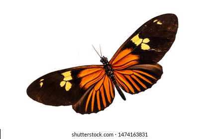 Souith American black orange yellow butterfly named after Chilean poet Pablo Neruda