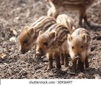 a sounder of young boars in spring forest