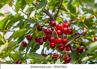 Sour cherries in a tree