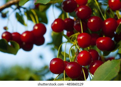 sour cherry fruits hanging on branch