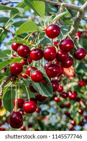 Sour Cherry (Prunus cerasus) in orchard, Moscow region, Russia
