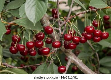 Sour Cherry (Prunus cerasus) in orchard