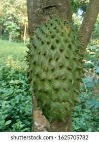 soursop (Annona muricata L. / sirsak / durian belanda) hanging on the tree in the garden