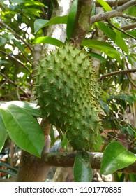 Soursop fruit (Annona muricata) on a tree.