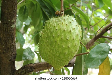 Soursop fruit on tree (Annona muricata L.)