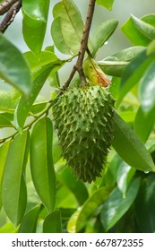 Soursop fruit on tree. (Annona muricata plant)