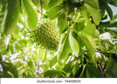 Soursop fruit on the tree whole growing Caribbean Trinidad and Tobago anti-cancer medicinal qualities