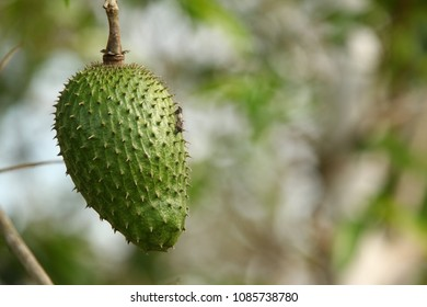 Soursop / guanabana / graviola exotic fruit hanging from tree - growing and harvesting your own food, self-sustainability, rural country life