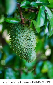 Soursop / guanabana / graviola exotic fruit hanging from tree - growing and harvesting your own food, self-sustainability, rural country life - Image