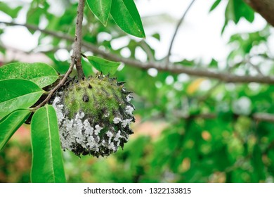 Soursop, also known as graviola, guyabano, and guanábana. The organic fruit is infested by mealybugs insect. Soursop can help boost the immune system and fight cancer. Selective focus. Copy space.