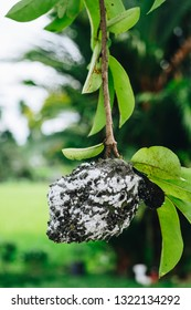 Soursop, also known as graviola and guyabano. The organic fruit is infested by mealybugs. Soursop can help boost the immune system and fight cancer. Selective focus. Copy space. Portrait orientation.