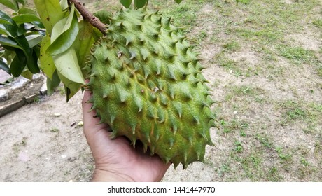 Soursop, Prickly Custard Apple. (Annona muricata L.) with hand holding it.
