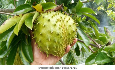 Soursop, Prickly Custard Apple. (Annona muricata L.) with hand holding it. Image contain grain and softfocus.