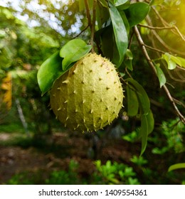 Soursop or Prickly Custard Apple is the fruit of Annona muricata.It is native to the tropical regions of the Americas and the Caribbean.