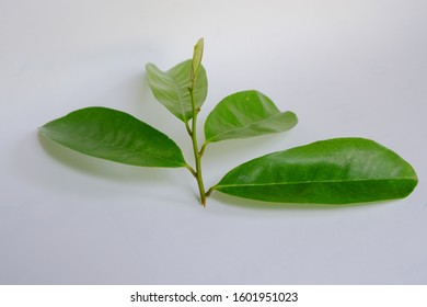 Soursop, Prickly custard apple or graviola or guanabana leaves. Soursop branches with green leaves on a white background.
