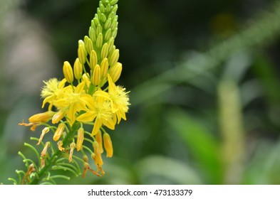 Sout African plant Bulbine natalensis also known with common name Bulbine