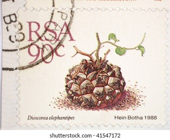 SOUTH AFRICA - CIRCA 1988: A stamp printed in South Africa shows image of an Elephant's Foot (Dioscorea elephantipes) sapling, series, circa 1988