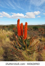 South African aloe in bloom