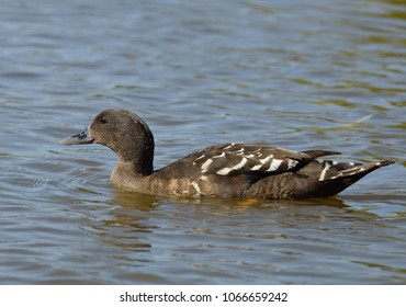 South African Black Duck - Anas sparsa sparsaFrom South Africa