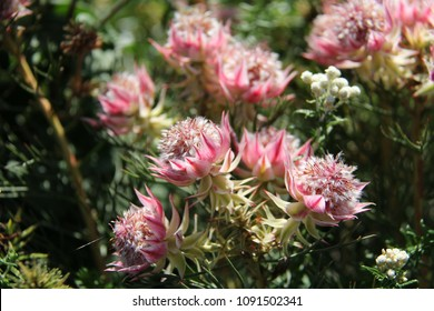 South african flowers