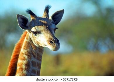 South African giraffe baby, Mkhaya Game Reserve, Swaziland