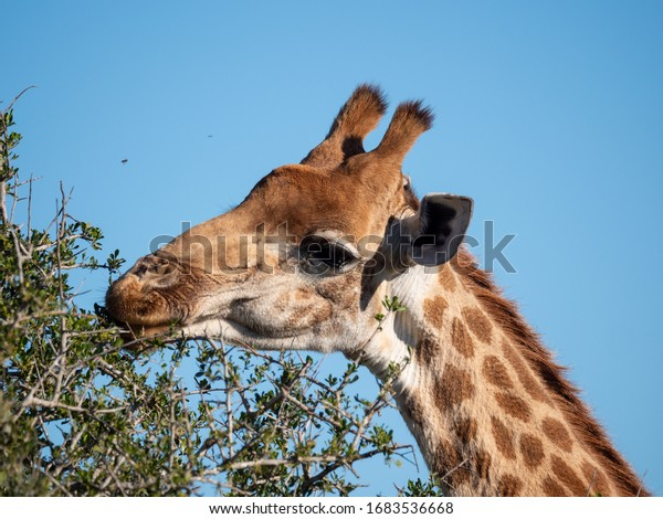 South African giraffe or Cape giraffe (Giraffa camelopardalis giraffa) feeding. Eastern Cape. South Africa