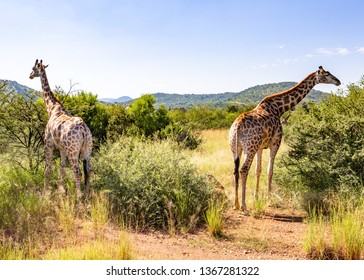 South African giraffe or Cape giraffe in North West Province. South Africa