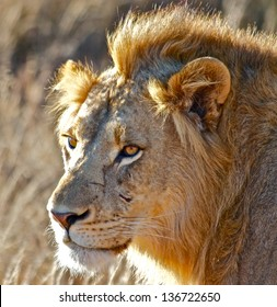 South African Lion with scar