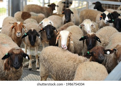 TheDorperis a South African mutton breed developed in the 1930's from the Dorset Horn and Blackheaded Persian. The breed was developed for the arid extensive regions of South Africa.