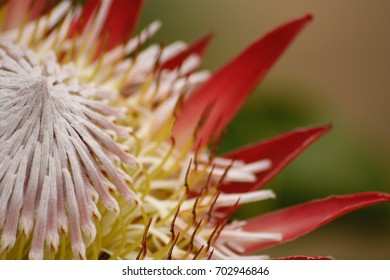 south african national flower stock photo edit now 702946846