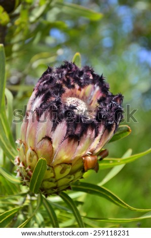 south african national flower protea stock photo edit now