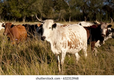 South African Nguni cows