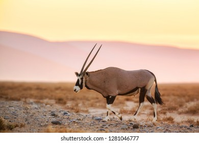 South African Oryx - Oryx gazella gazella, beautiful iconic antelope from Namib desert, Namibia.
