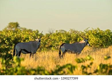 South African Oryx - Oryx gazella gazella, beautiful iconic antelope from Etosha National Park, Namibia.